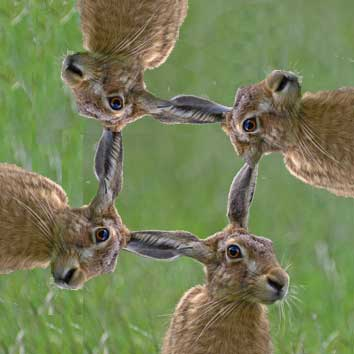 image of four hares sharing four ears